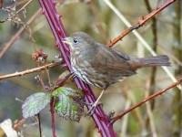 Fox Sparrow (LS)