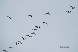 Snow Geese (TM)