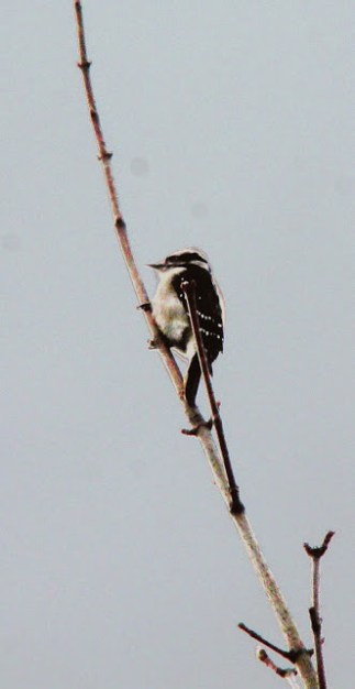 Downy Woodpecker (JK)