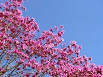 Magnolia (MS)