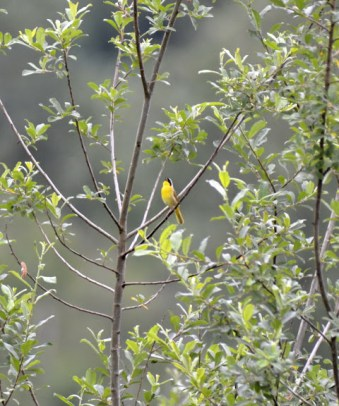 Common Yellowthroat (GB)