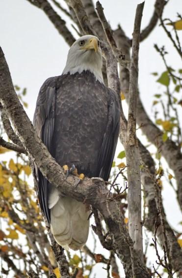 Bald Eagle (GB)
