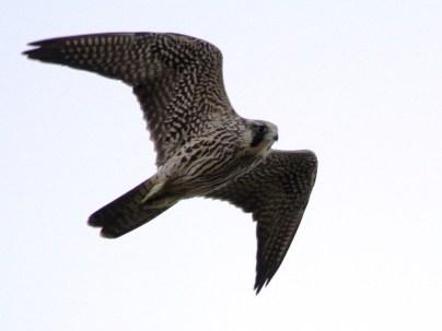 Peregrine Falcon (JM)
