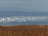 Snow Geese (LS)