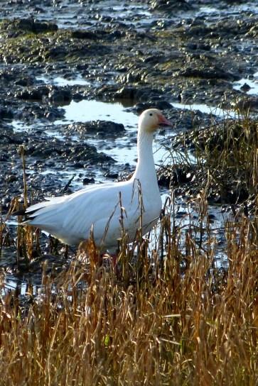 Snow Goose (MS)
