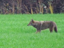 Coyote (P&A)