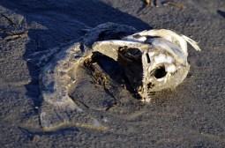 dead salmon (GB)