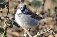House Sparrow juv. (GB)