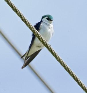Violet-green Swallow (BA)