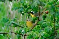 Common Yellowthroat pair (KB)