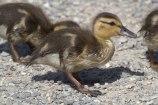 Mallard duckling (MS)