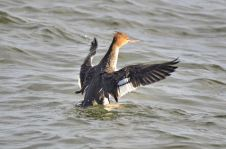 Red-breasted Merganser (GB)