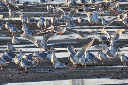 Gulls (BA)