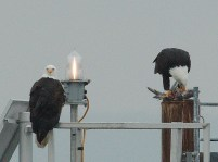 Bald Eagle pair (PS)
