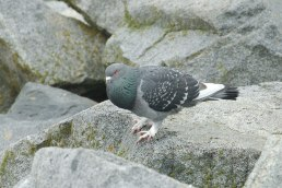 Rock Dove (PS)