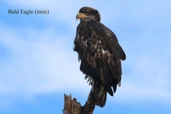 Bald Eagle imm. (TC)