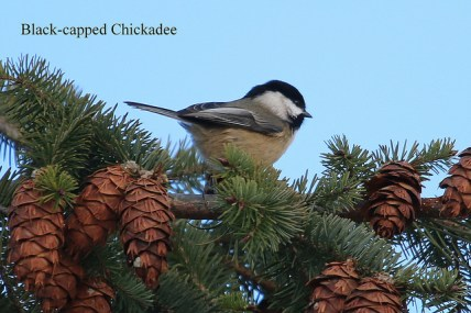 Black-capped Chickadee (TC)