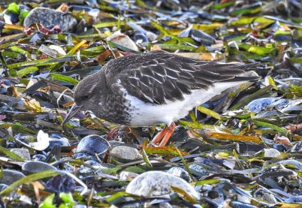 Black Turnstone (BA)