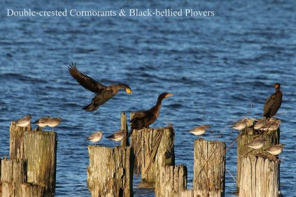 Black-bellied Plover & Double-crested Cormorants (TC)