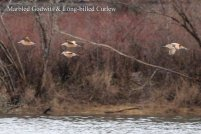 Long-billed Curlew & Marbled Godwits (TC)