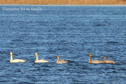 Trumpeter Swan family (TC)