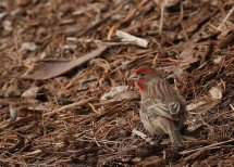 House Finch (PS)