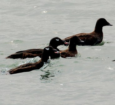 White-winged Scoters (PS)
