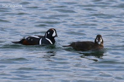 Harlequin Duck pair (TC)