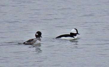 Bufflehead pair (BA)