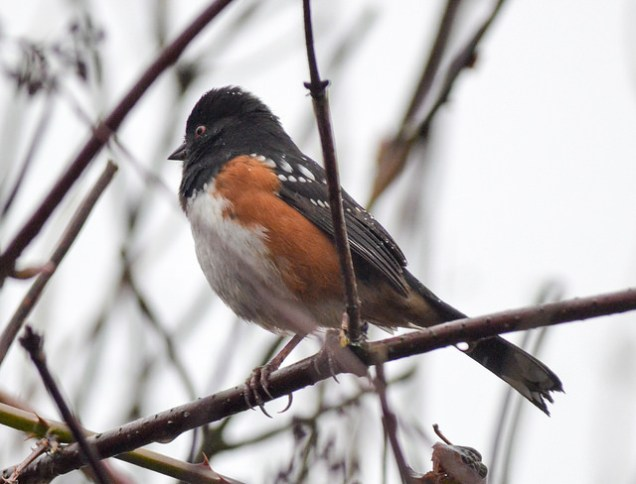 Spotted Towhee (GB)