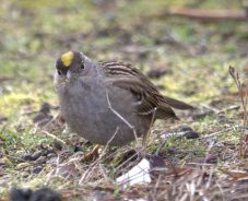 Golden-crowned Sparrow (MS)