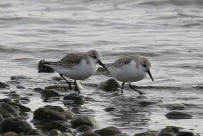 Sanderlings (TC)