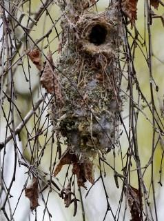 Bushtit nest (GB)
