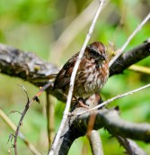 Song Sparrow (GB)