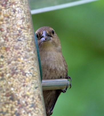 Brown-headed Cowbird (MS)