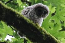 Barred Owlet (TC)