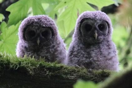Barred Owlets (TC)