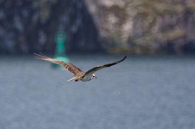 Osprey (BA)