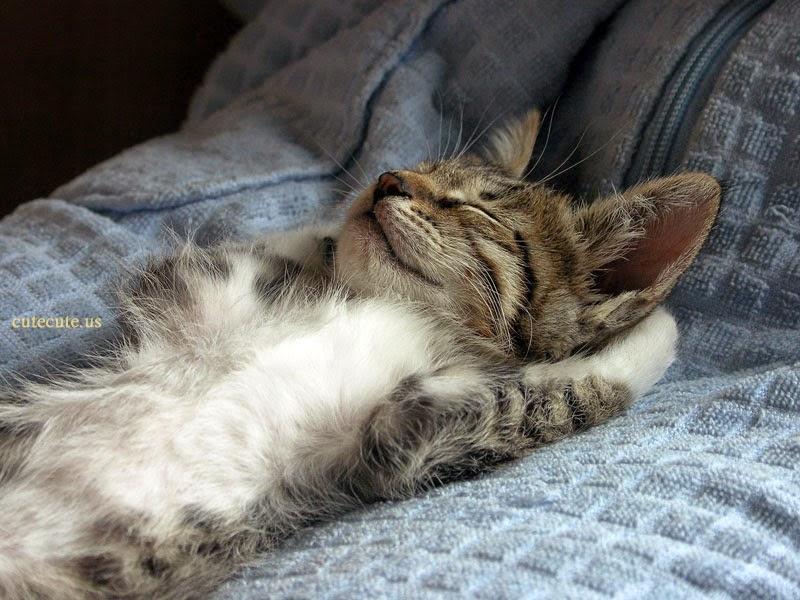 Wie Viel Schlafen Katzen Ihren Schlaf Verstehen Holidogtimes