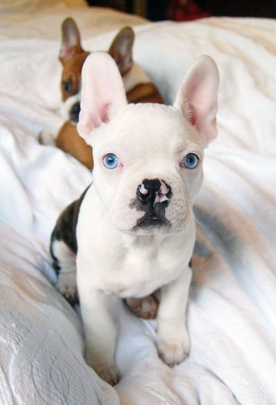 French And Pug Mix French Bulldog Pug And Bulldog Mix