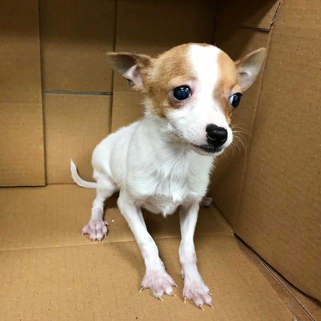 chihuahua abandonado no veterinário