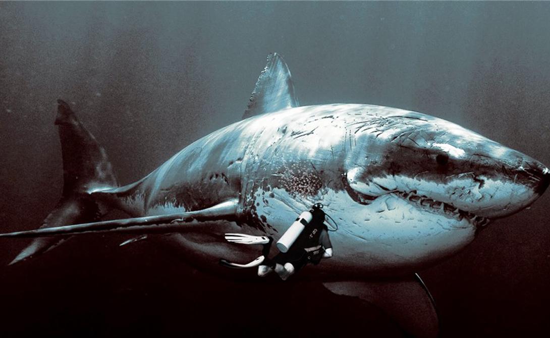 МегалодонДлина большой белой акулы может достигать 9 метров, что делает встречу с ней в океане весьма неприятным сюрпризом для любого дайвера. Но мегалодон вырастал до колоссальных 20 метров — живи он сегодня, и мореходство стало бы очень, очень опасным занятием.
