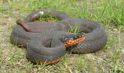 Photo of Plain-bellied Watersnake courtesy of Dave Wilson