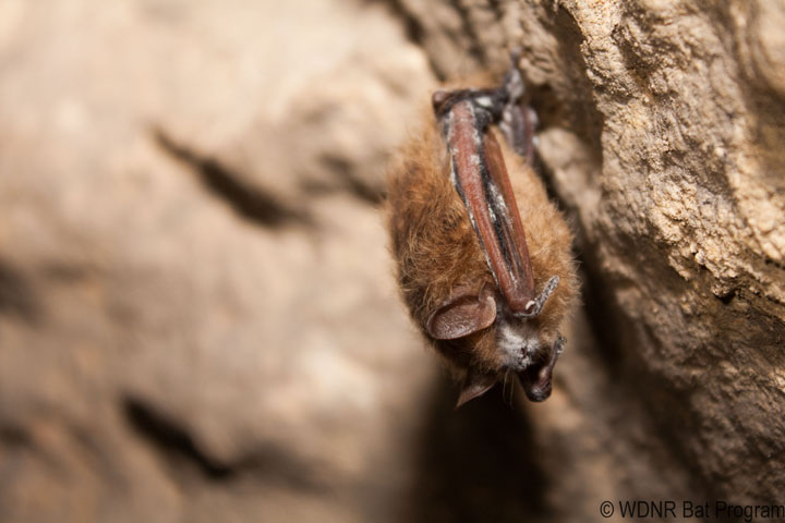 A hibernating eastern pipistrelle with white-nose syndrome.