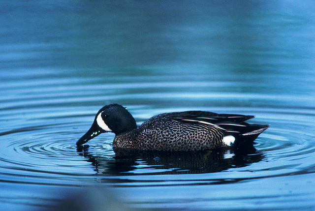 cold temperatures in April and early May stalled migration for blue-winged teal and several diving duck species