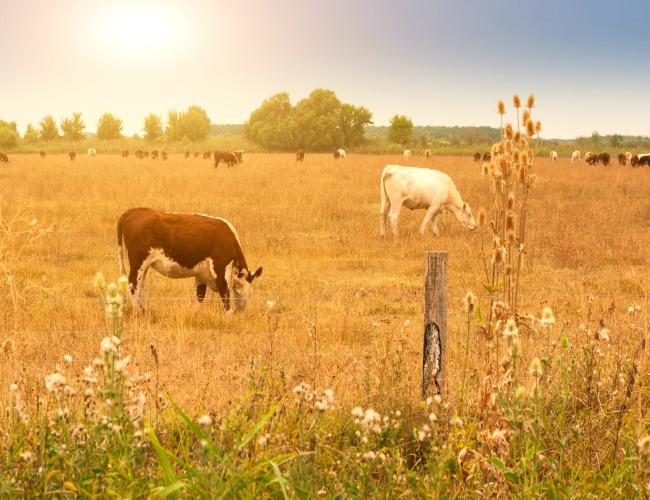 Cattle in Field 1
