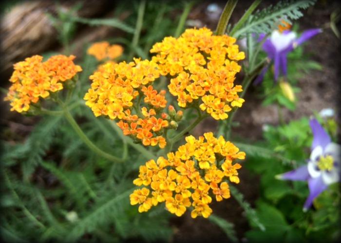 Orange Baby Breath 1