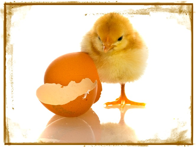 Baby Chick 1