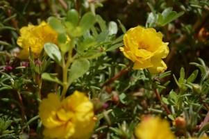 yellow sweetness