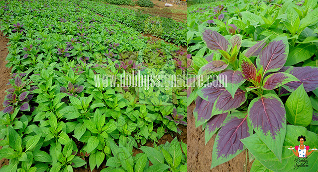 indigenous leafy vegetables and herbs Nigeria